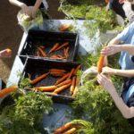 kids preparing fresh carrots